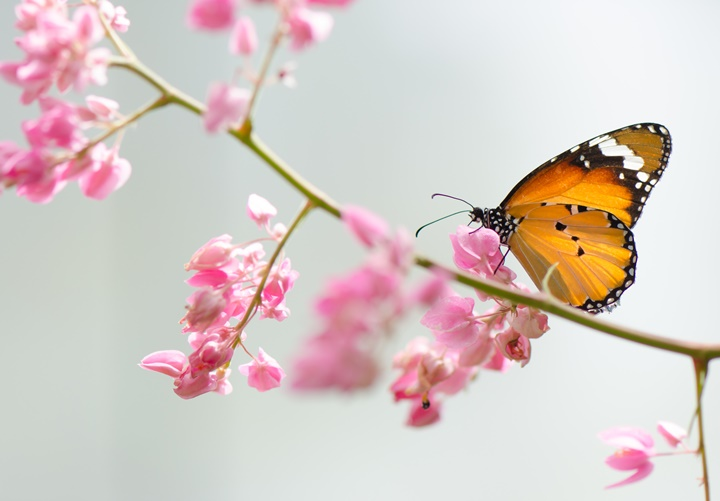 Plain tiger butterfly, nature background.