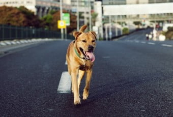 Tan dog running down middle of highway road in city
