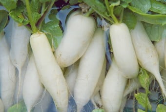 Daikon radishes in water, close up, full frame